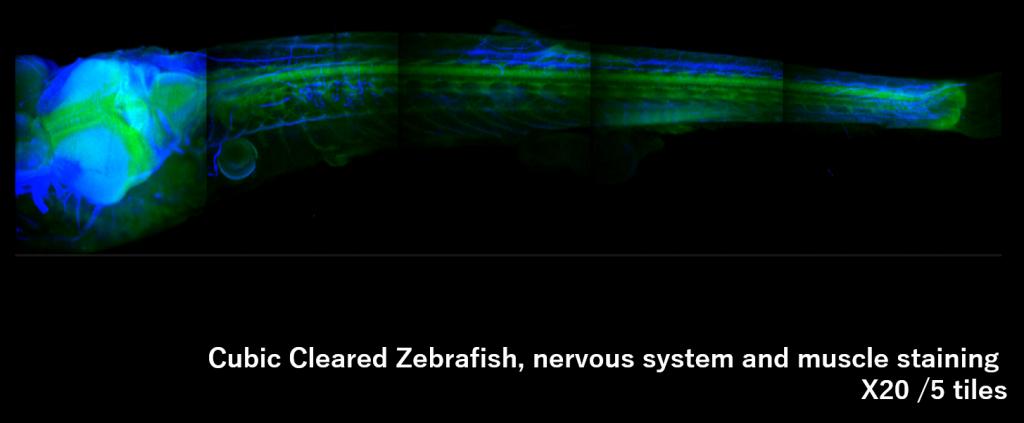 zebrafishx20